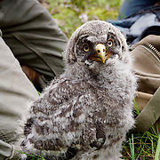 Owl Research Institute banding a great gray owl family. Mission Valley, Montana