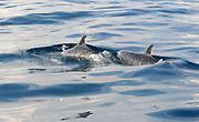 Pantropical spotted dolphins (Stenella attenuata) off the coast of the Oro Peninsula. Drake Bay, Corcovado National Park, Golfito, Costa Rica. 28Nov13