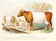 Somerset cows: polled variety belonging to John Weir of West Camel and horned cow from herd at Montacute House. From David Low 'Domestic Animals of Great Britain', Paris, 1842.