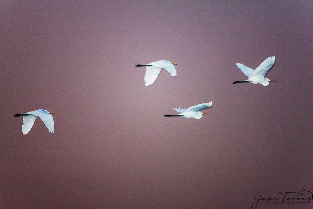 A flock of great white egrets or great white herons in flight (Ardea alba), Chobe River,Botswana, Africa