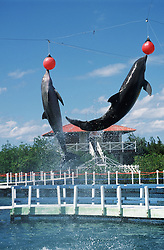 Dolphins jumping out of water balancing red balls on their noses near Guardalavaca; Holguin; Cuba,