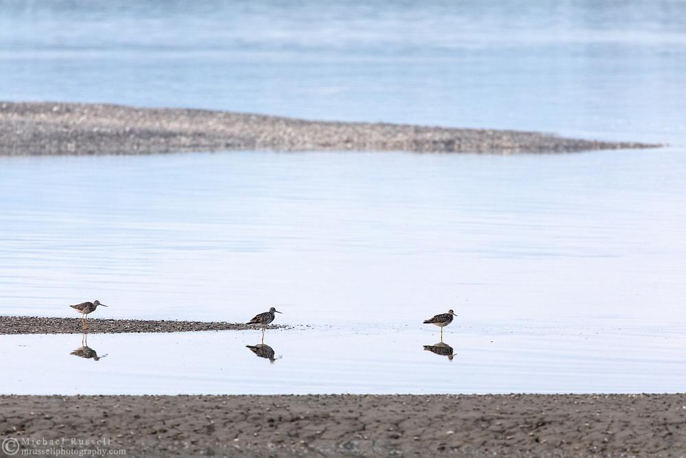 Three Greater Yellowlegs (Tringa melanoleuca) foraging along the shoreline at Blackie Spit in Surrey, British Columbia.