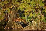 A Pair of Large Cypress Trees - Dauterive Lake