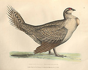 greater sage-grouse (Centrocercus urophasianus), also known as the sagehen color plate of North American birds from Fauna boreali-americana; or, The zoology of the northern parts of British America, containing descriptions of the objects of natural history collected on the late northern land expeditions under command of Capt. Sir John Franklin by Richardson, John, Sir, 1787-1865 Published 1829