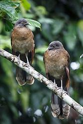 Pair of gray-headed Chachalaca, Ecocentro Danaus Biological Reserve, Costa Rica.