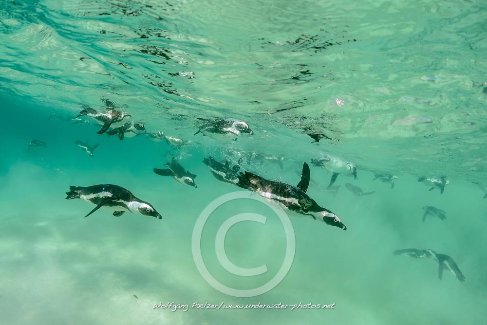Spheniscus demersus, Brillenpinguine, Tauchende Pinguine, African penguins or Jackass penguin or black-footed penguins, Diving Pinguins, Suedafrica, Simons Town, False Bay, Boulders Beach, South Africa
