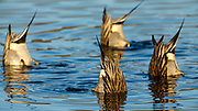 """Four Northern Pintail (Anas acuta) """"tipping up"""" at Baskett Slough National Wildlife Refuge."""