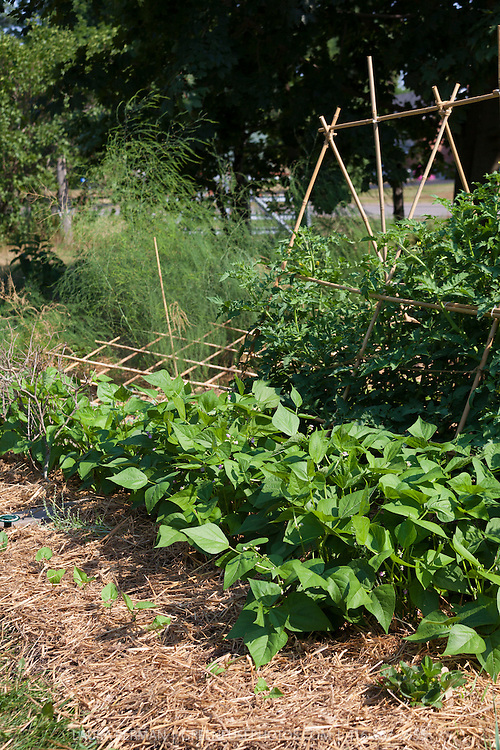 Straw mulch to conserve water in a kitchen garden during drought.