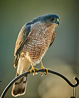 Sharp-shinned Hawk (Accipiter striatus. Image taken with a Nikon D850 camera and 600 mm f/4 VR lens