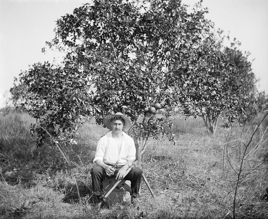 """0608-108.  """"Papa Picking Oranges, taken November 21st, 1910."""" man with pruning tools under orange tree, Florida."""