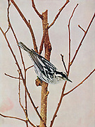 The black-and-white [Creeping] Warbler (Mniotilta varia) is a species of New World warbler, and the only member of its genus, Mniotilta.[2] It breeds in northern and eastern North America and winters in Florida, Central America, and the West Indies down to Peru. This species is a very rare vagrant to western Europe From Birds : illustrated by color photography : a monthly serial. Knowledge of Bird-life Vol 1 No 1 June 1897