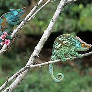 Parson's Chameleon (Calumma p. parsonii),  which is indigenous to Madagascar. .Parson's Chameleon (Calumma p. parsonii), which is indigenous to Madagascar.