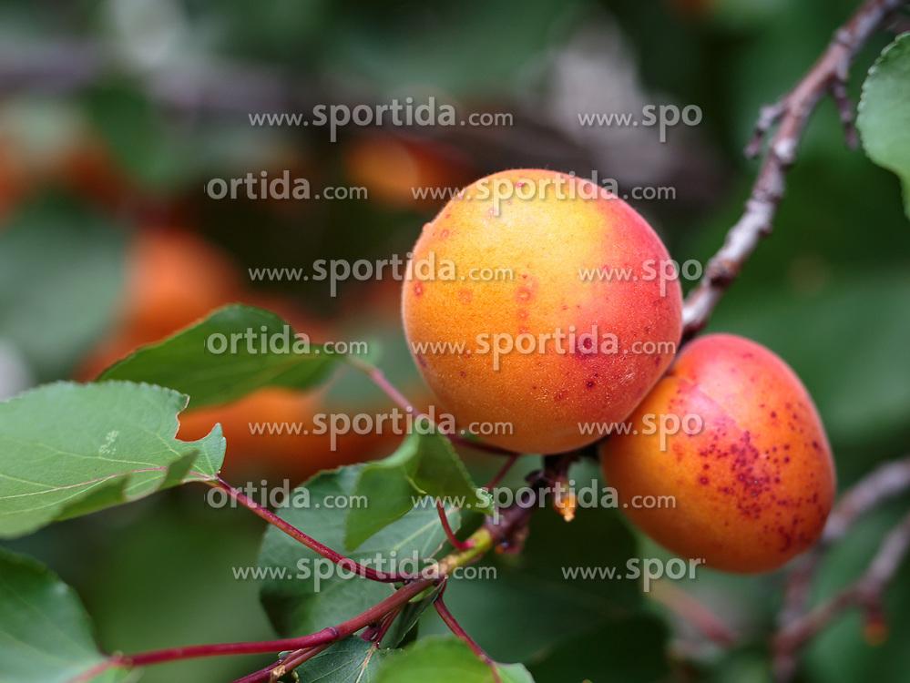 THEMENBILD - reife Marillen (Aprikosen) auf einem Baum, aufgenommen am 13. August 2018, Kaprun, Österreich // ripe apricots (apricots) on a tree on 2018/08/13, Kaprun, Austria. EXPA Pictures © 2018, PhotoCredit: EXPA/ Stefanie Oberhauser