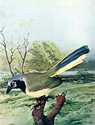 The green jay (Cyanocorax luxuosus) [Here as Arizona Green Jay (Xanthoura luxuousa)] is a species of the New World jays, and is found in Central America. From Birds : illustrated by color photography : a monthly serial. Knowledge of Bird-life Vol 1 No 4 April 1897