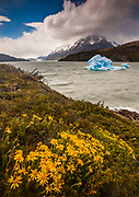 Daisies and blue iceberg, rain squalls on Lago Grey, Parque Nacional Torres del Paine, Patagonia, Chile.