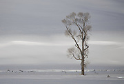 A Lone tree In the Lamar Valley of Yellowstone National Park.