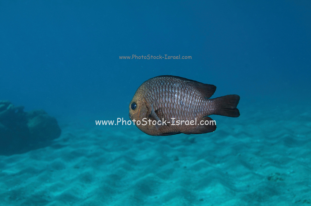 Three spot dascyllus fish (Dascyllus trimaculatus) on a coral reef. This damselfish inhabits lagoons and coral reefs in the Indo-Pacific region. It grows up to 14 centimetres in length and feeds on plankton, invertebrates and algae. Photographed in the Red Sea Israel