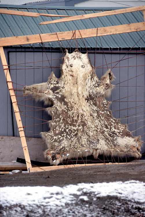 Polar bear skin in drying rack.  Natives are allowed to hunt polar bears. They cannot sell the whole skin but can sell the crafts and clothes made out of it.