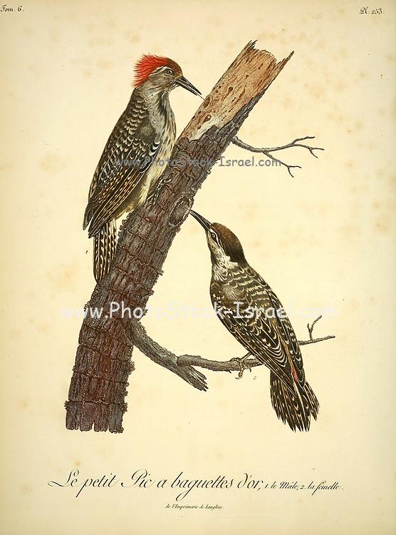 Pic a baguettes d'or from the Book Histoire naturelle des oiseaux d'Afrique [Natural History of birds of Africa] Volume 6, by Le Vaillant, Francois, 1753-1824; Publish in Paris by Chez J.J. Fuchs, libraire 1808
