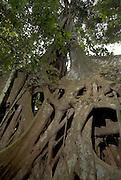 Strangler Fig, Ficus sp, Manu, Peru, tropical jungle, primary forest, large roots.South America....