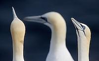 Gannet, Sula bassana, Ireland South East coast Saltee Islands