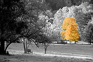 The gold maple stands out against the other trees.   Aspect Ratio 1w x .667h
