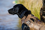 "Two year old black lab ""Ellie"" retrieving ducks while hunting near Shamrock, Oklahoma"