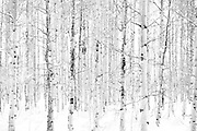 black and white tree photography 'Strength' by Tracie Spence