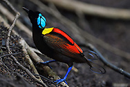 """The Critically endangered Wilson's bird-of-paradise (Cicinnurus respublica), Waigeo, Raja Ampat, Western Papua, Indonesian controlled New Guinea, on the Science et Images """"Expedition Papua, in the footsteps of Wallace"""", by Iris Foundation. Conservation status: Near Threatened"""