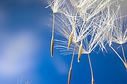 Wind dispersed seeds from a western salsify (Tragopogon dubius). This small, parachute like seeds will be able to travel great distances on wind currents.