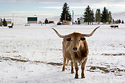 Long horn bull grazing in the snow on a cattle farm in Northeast Wyoming WY USA