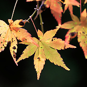 Momiji Japanese maple leaves in the early morning light of autumn. Photographed in Kifune, north Kyoto.