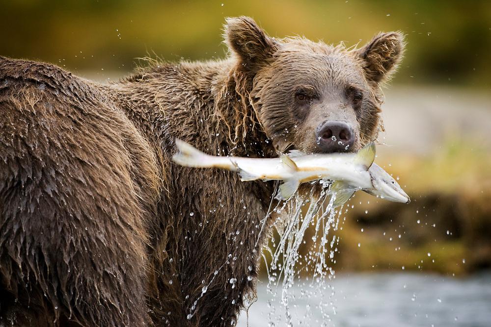 USA, Alaska, Katmai National Park, Geographic Harbor, Brown Bear (Ursus arctos) pulls spawning salmon from stream on autumn afternoon