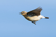 The Northern Wheatear is a migratory insectivorous species breeding in open stony country in Europe  and Asia with footholds in northeastern Canada and Greenland  as well as in northwestern Canada and Alaska. It nests in rock crevices and rabbit burrows. All birds winter in Africa.