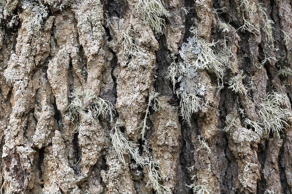 Bark on Cyprus Cedar (Cedar libani), Cedar valley, Troodos mountains, Cyprus