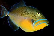 Queen Triggerfish, Balistes vetula.