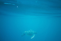Green Sea Turtle in the Galapagos Islands, Ecuador.