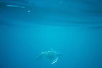 Green Sea Turtle in the Galapagos Islands, Ecuador.