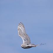 Female snowy owl in flight with transmitter on back, Barrow, Alaska.