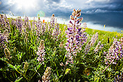 Wildflowers on the high plains of southeastern Wyoming.