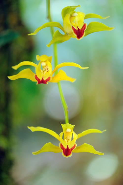 Cymbidium lowianum, endemic tree orchid, Gaoligongshan NP, Yunnan province, China