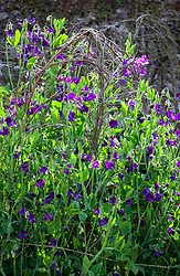 Lathyrus odoratus 'Bouquet Navy'. Sweet peas growing up a birch support in the trials bed at Parham House