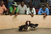 Cock Fighting<br /> Puerto Ayora, Santa Cruz Island, GALAPAGOS ISLANDS<br /> ECUADOR.  South America