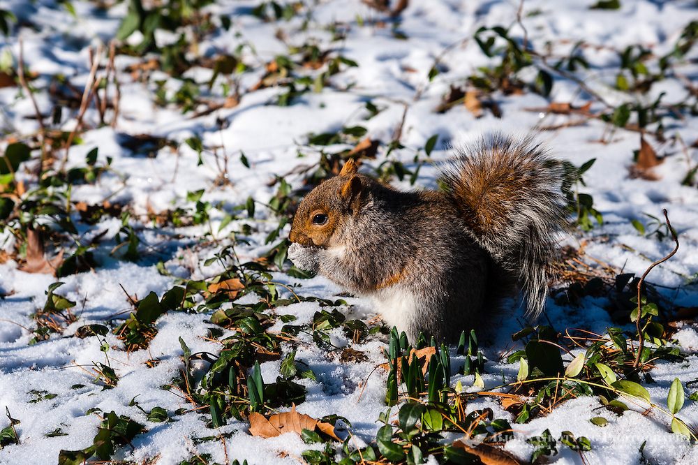 US, New York City, Central Park. Eastern gray squirrel.
