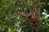 "Bornean Orangutan - ""wurmbii"" subspecies<br />(Pongo pygmaeus wurmbii)<br /><br />Young female ""Walima""<br /><br />Cabang Panti Research Station<br />Gunung Palung National Park<br />West Kalimantan, Indonesia<br />Borneo Island"
