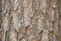 Pine tree,  Pinus sylvestris L., Oulanka, Finland.