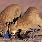 Mountain Lion or Cougar, (Felis concolor) Cubs in canyon lands of Utah drinking from pool of water. Captive Animal.