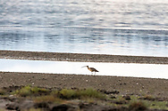 A Long-billed Curlew (Numenius americanus) foraging at Blackie Spit near Crescent Beach in Surrey, British Columbia, Canada. Long-billed Curlew are relatively rare here, but can be seen at Blackie Spit in spring,  late summer, and fall.