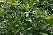 Fresh acorns on a bright Oak tree near Hever, England, United Kingdom.