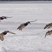 Mallards, in flight. Lake Kussharo, Hokkaido, Japan